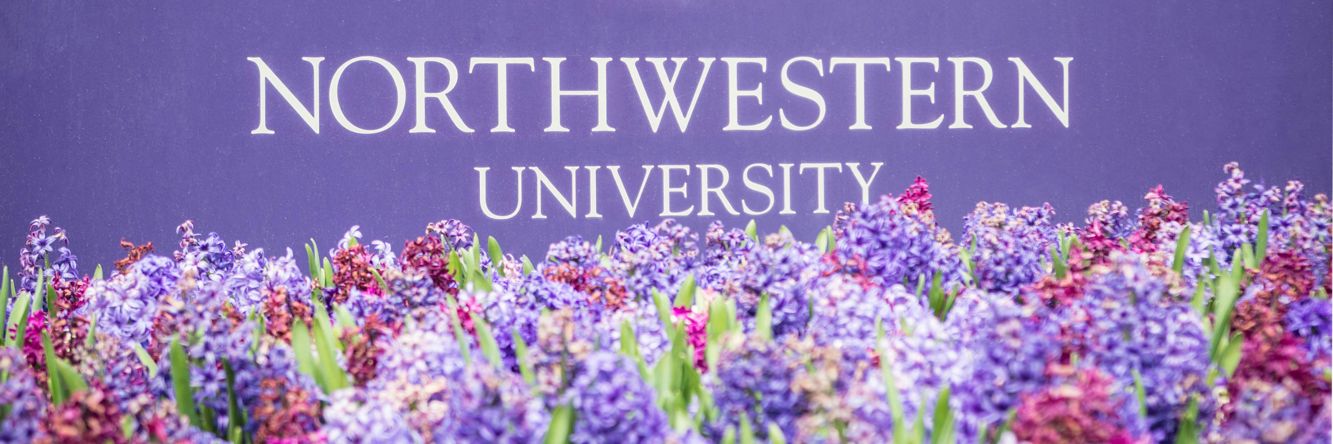 Purple lilacs in front of a Northwestern University sign.